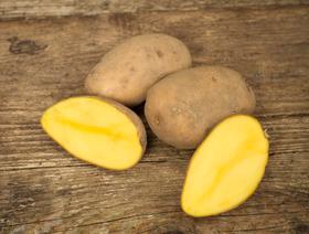 Bio Kartoffeln Agria, mittel, ungewaschen